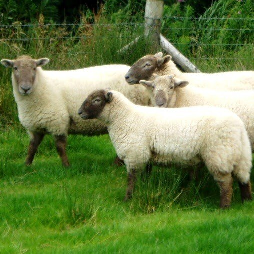 Hill Radnor Sheep - Blacker Yarns