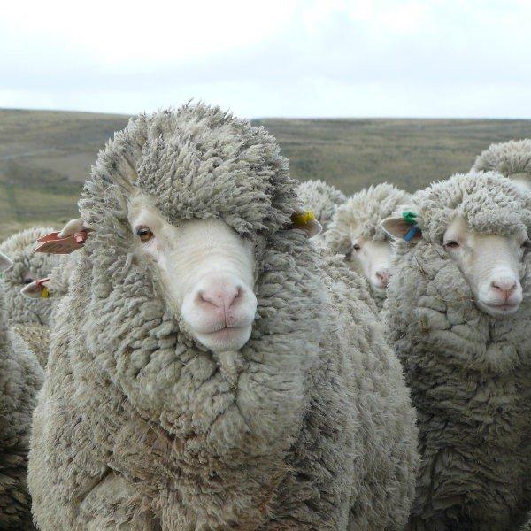 Merino Sheep - Blacker Yarns
