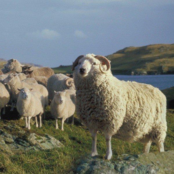 Pure Shetland 4-ply knitting yarn